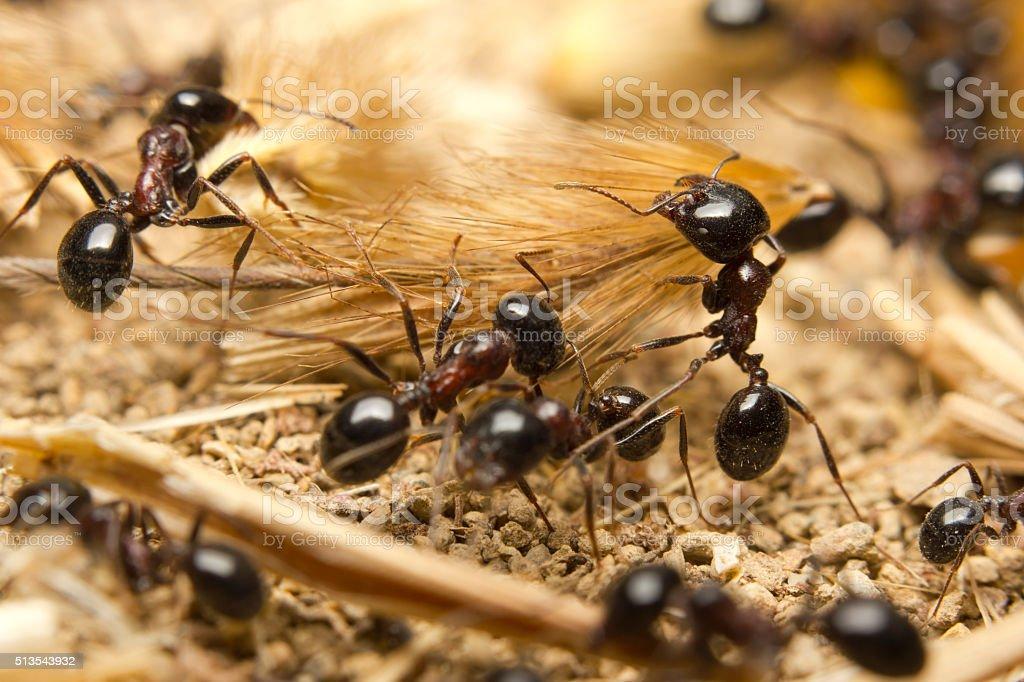 Macro of Black worker ants stock photo