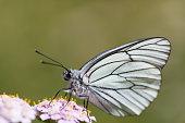 Macro of black-veined white butterfly (Aporia crataegi)