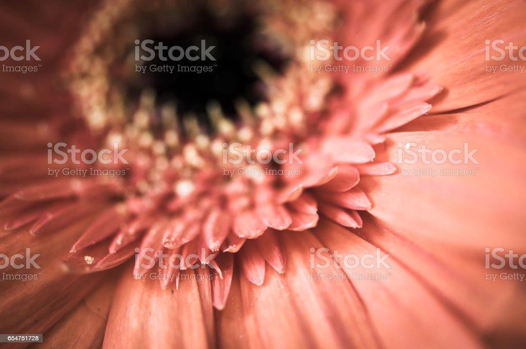 Macro of bleached orange gerbera flower stock photo