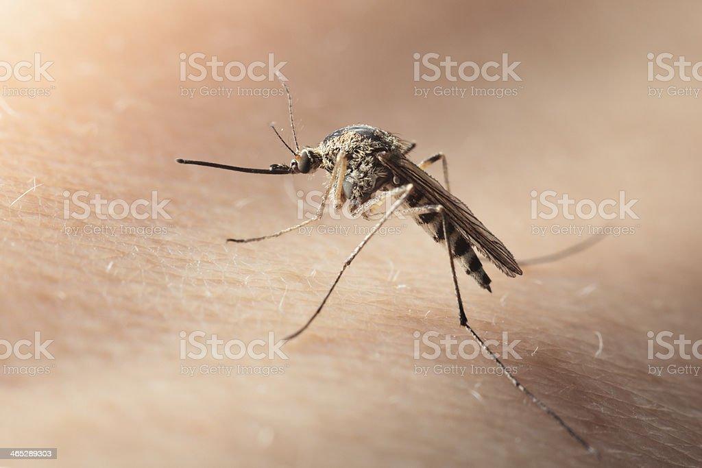 Macro of bloodsucker mosquito on human skin royalty-free stock photo