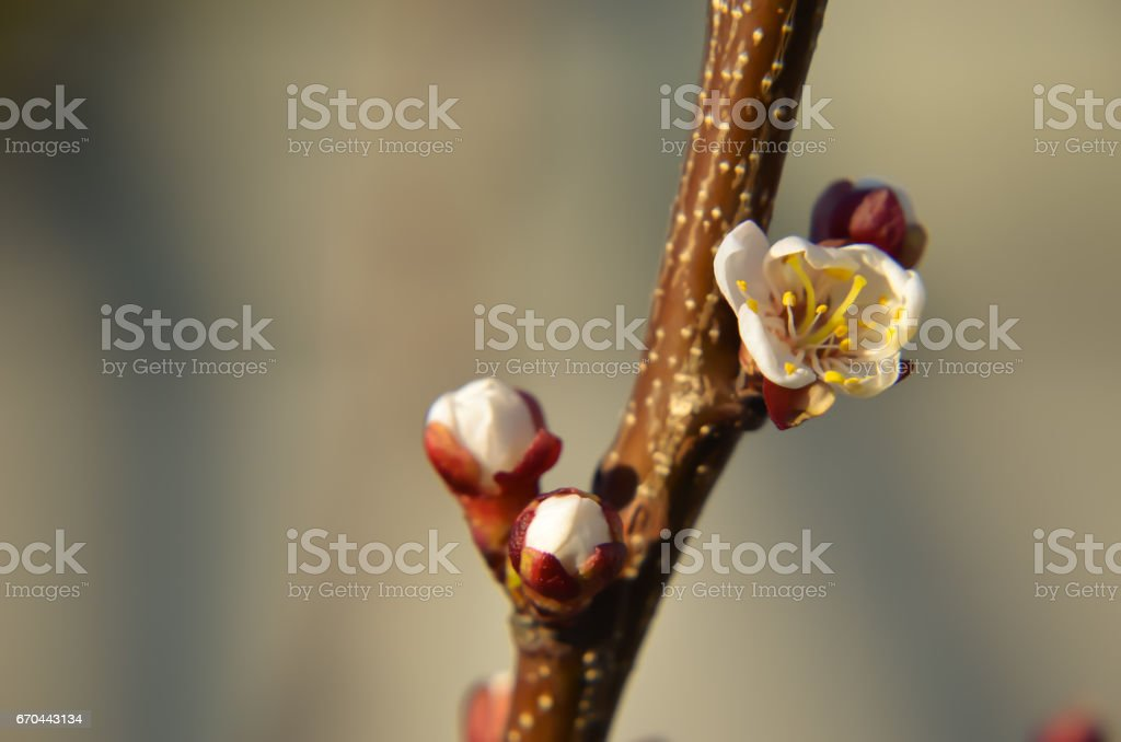 Macro of blooming apricot brunch stock photo