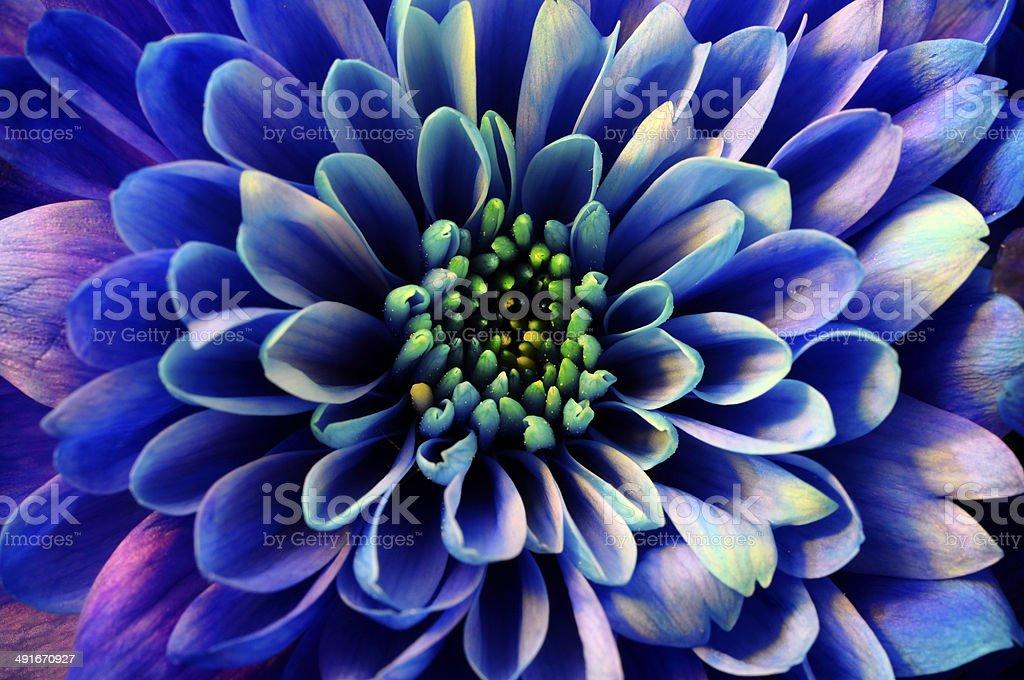 Macro of blue flower aster stock photo