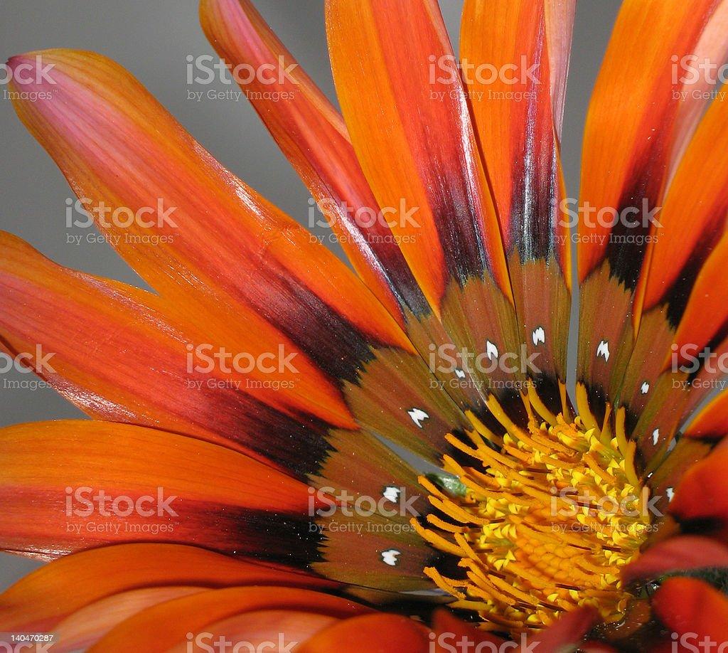 Macro of bright orange daisy - Gazania Rigens royalty-free stock photo