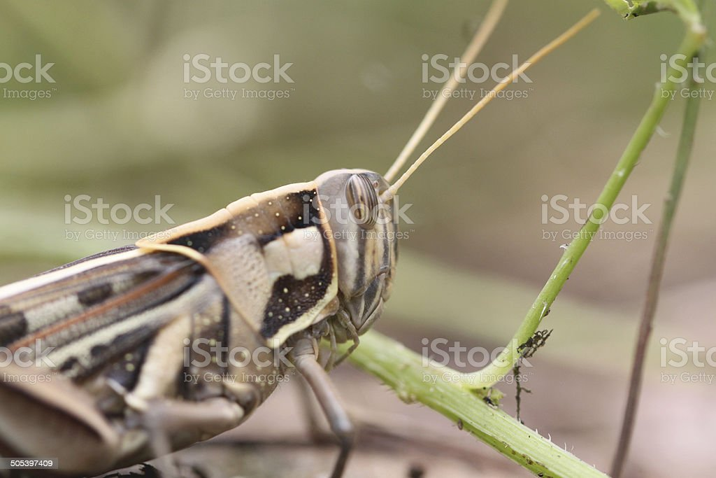 Macro of brown grasshopper perched on leaf. stock photo