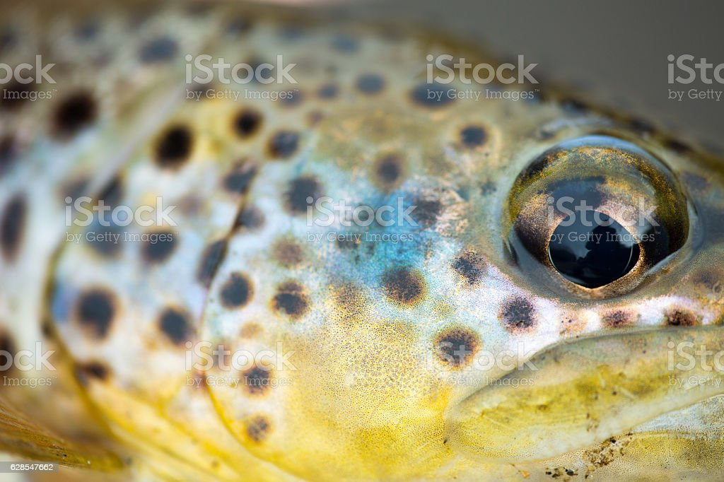 macro of brown trout cheeks stock photo