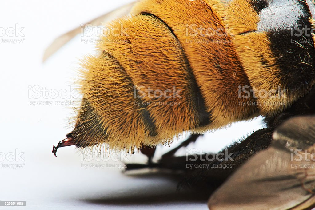 macro of bumblebee sting stock photo