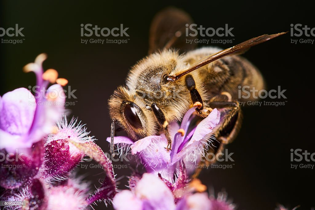 macro of busy honey bee on basil stock photo