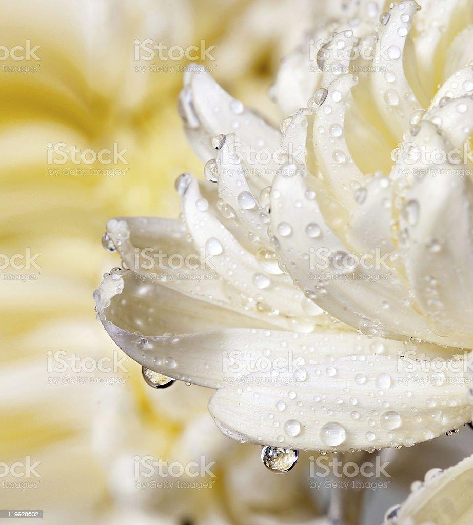 Macro of chrysanthemum bloom with water drops royalty-free stock photo