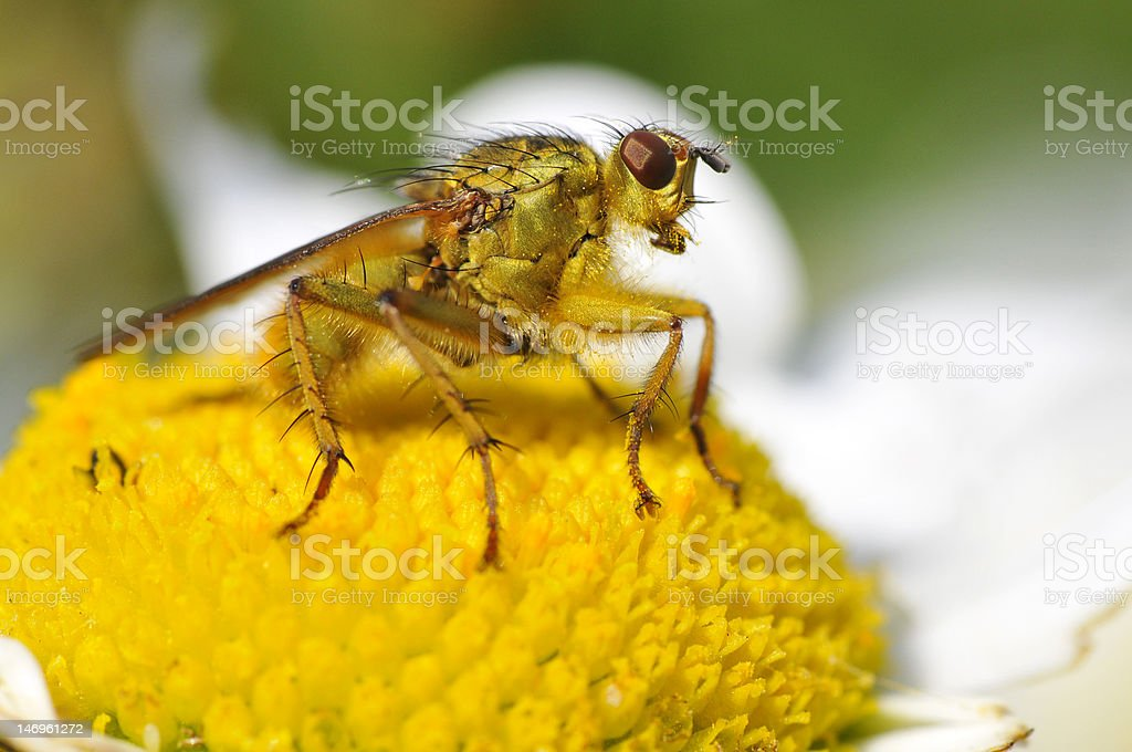 Macro of common yellow dung fly on daisy flower stock photo