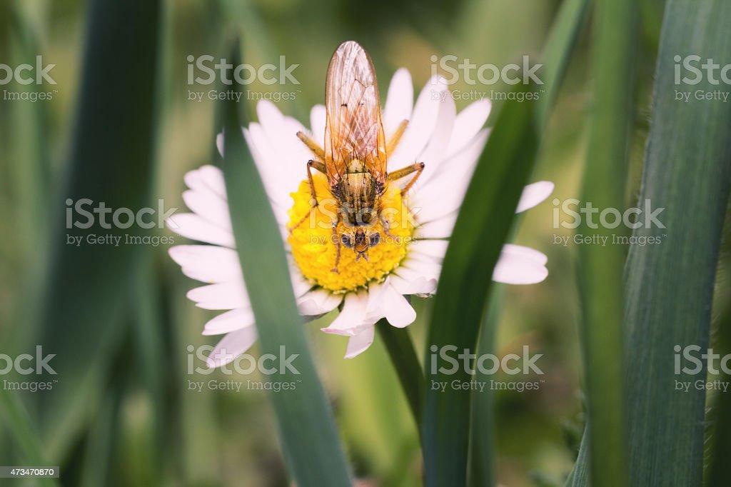 Macro of  common yellow dung fly stock photo