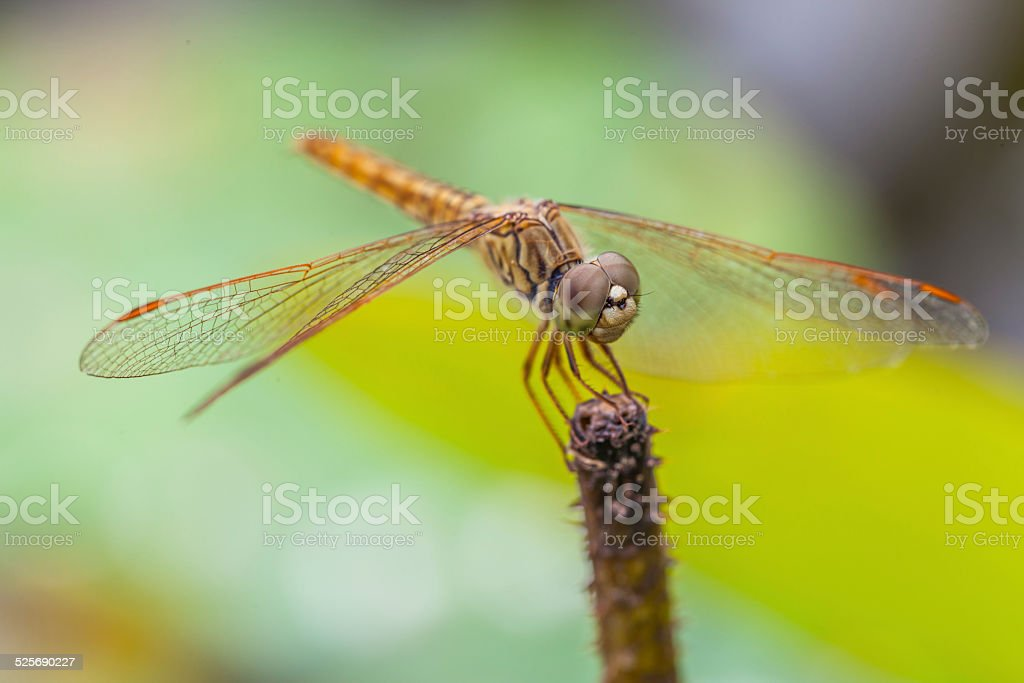 Macro of dragonfly resting on a twig stock photo