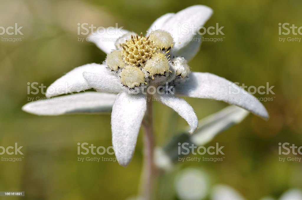 Macro of edelweiss flower royalty-free stock photo