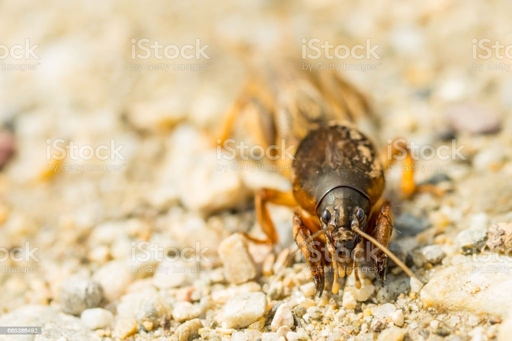 Macro of fen cricket on stones in sunny day stock photo