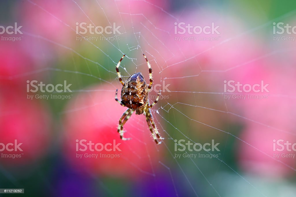 macro of garden orb spider stock photo