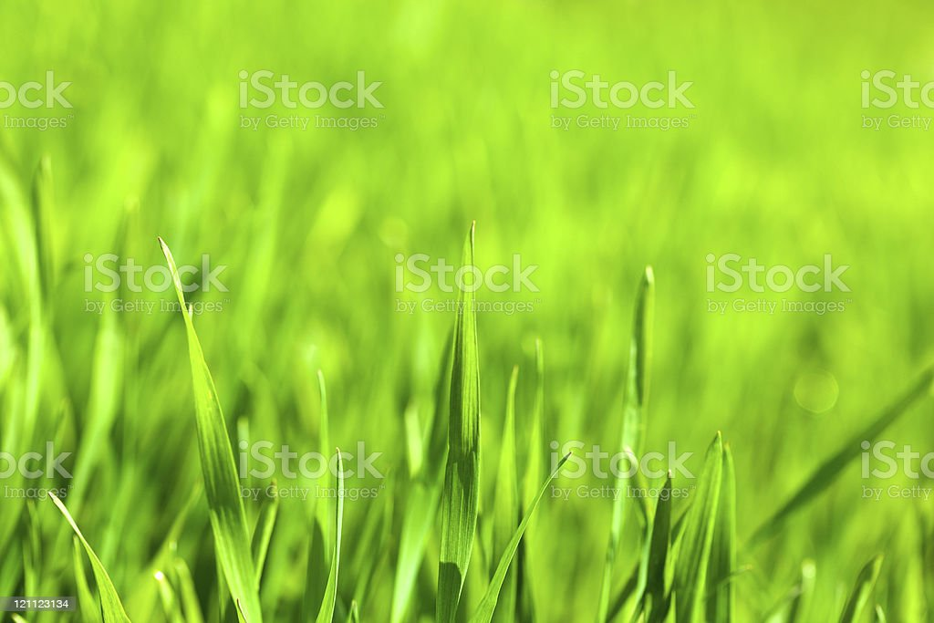 Macro of green corn blades on field background stock photo