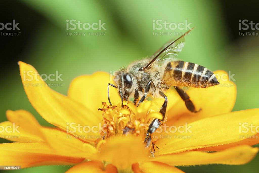 Macro of honey bee eating nectar stock photo