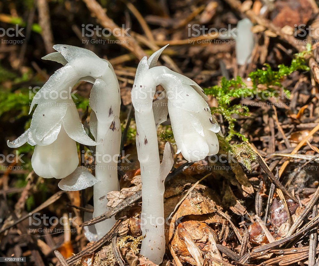 Macro of Indian Pipe (Monotropa uniflora) growing in the forest stock photo