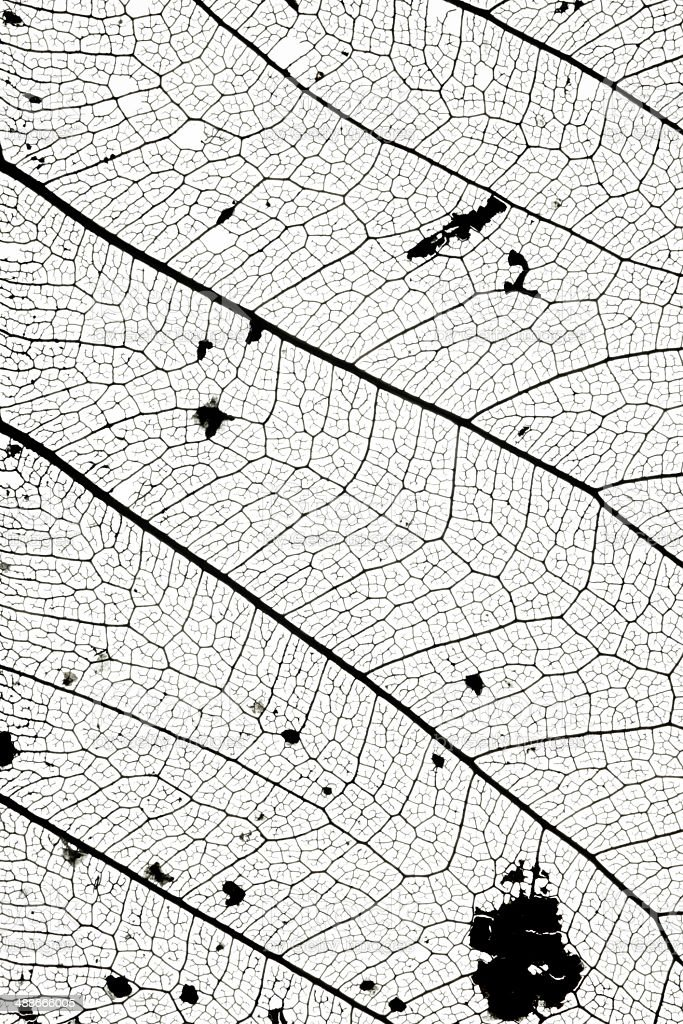 macro  of leaf skeleton stock photo