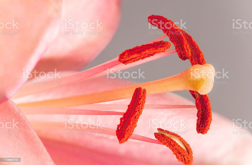 Macro of lily anthers and stigma. royalty-free stock photo