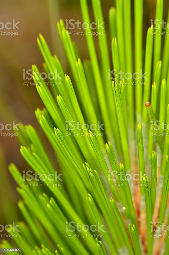 Macro of loblolly pine neddles in groups of three stock photo