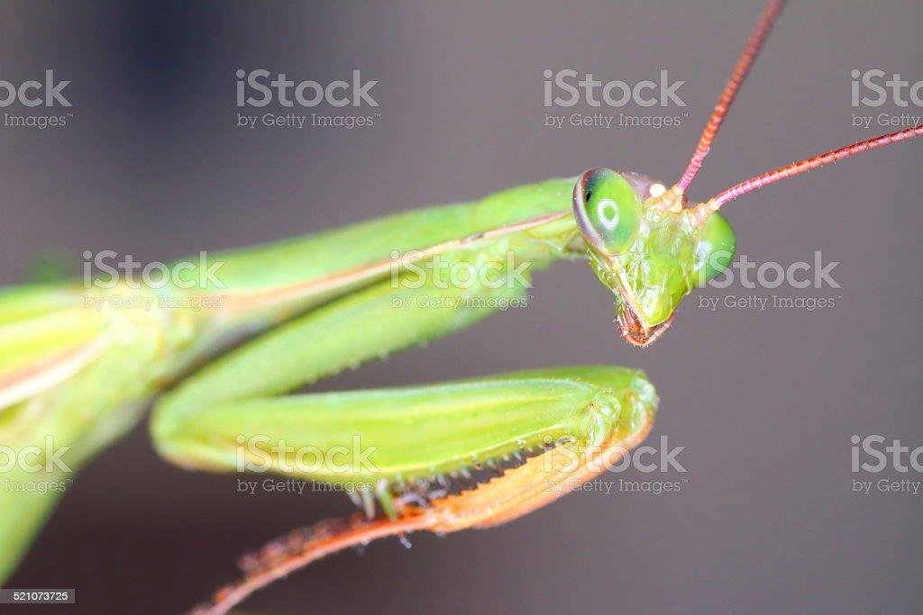 Macro of Mantis head stock photo