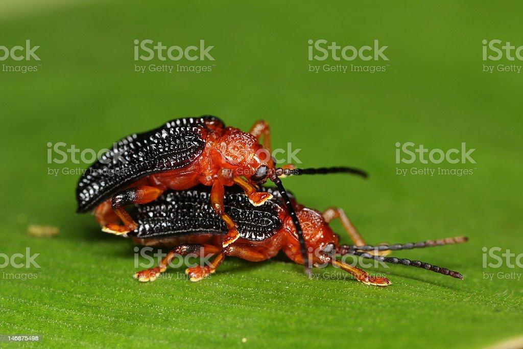 macro of mating beetles royalty-free stock photo