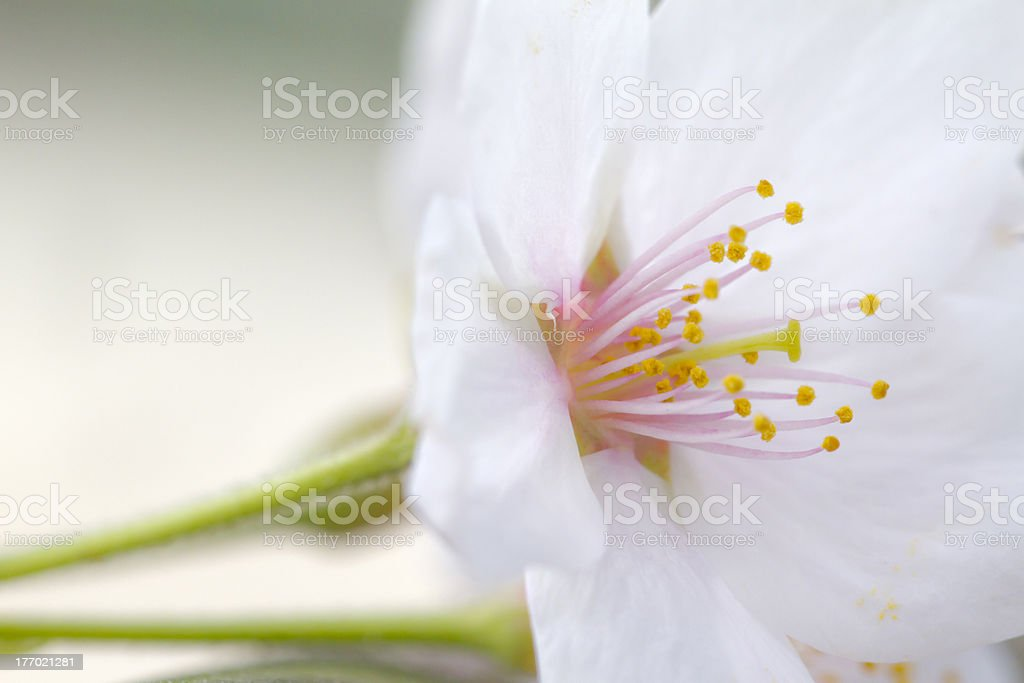 Macro of Open Cherry Blossom Side stock photo