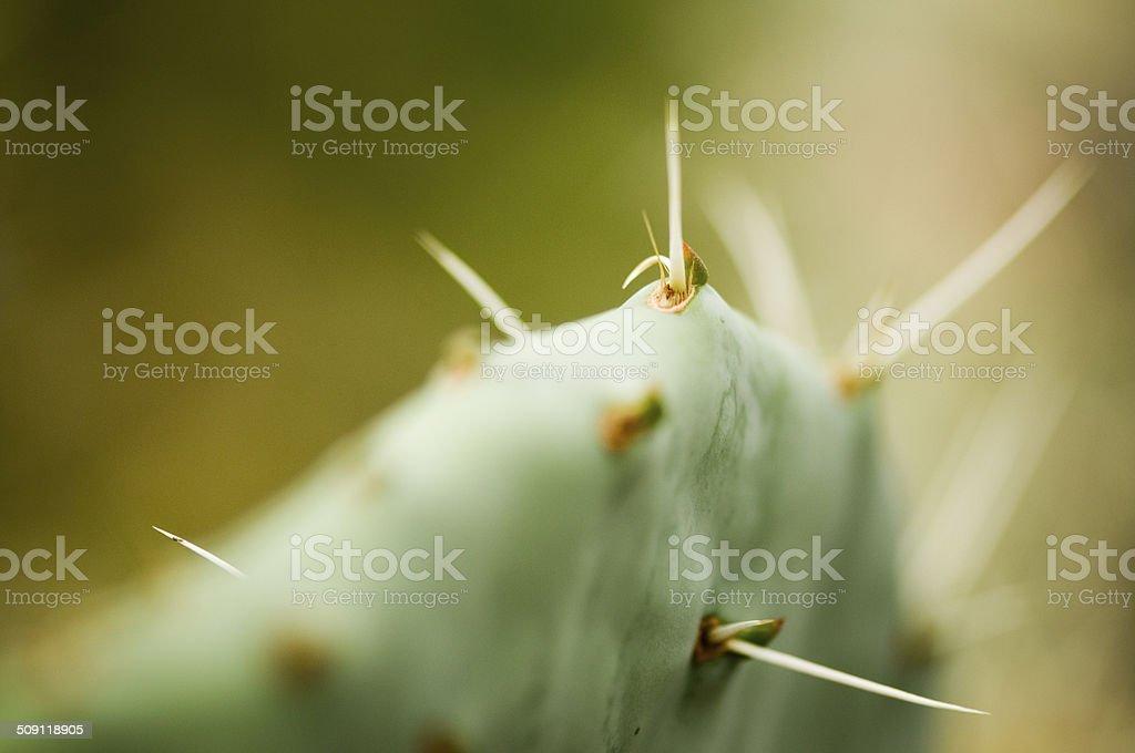 macro of opuntia cactus stock photo
