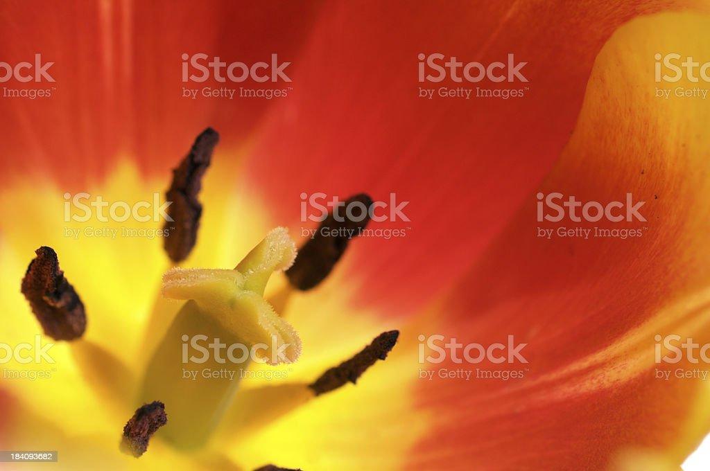 Macro of orange/yellow tulip. royalty-free stock photo