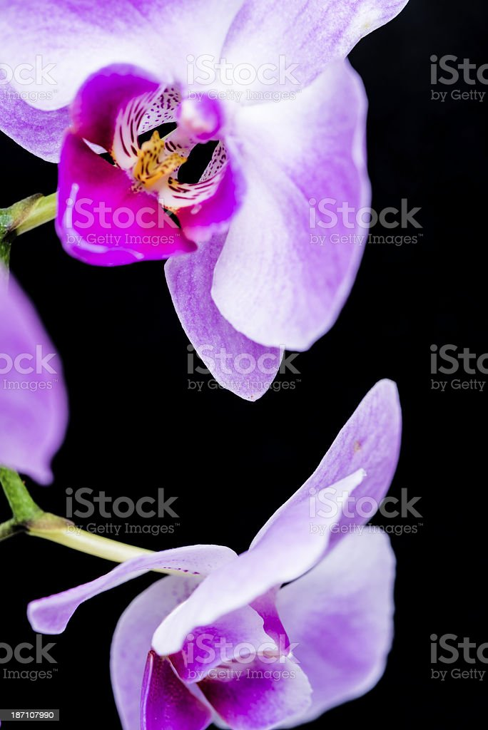 Macro of orchid flower on black background royalty-free stock photo