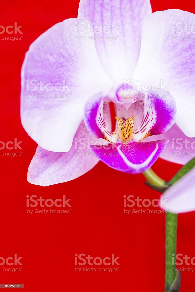 Macro of orchid flower on vivid red background royalty-free stock photo