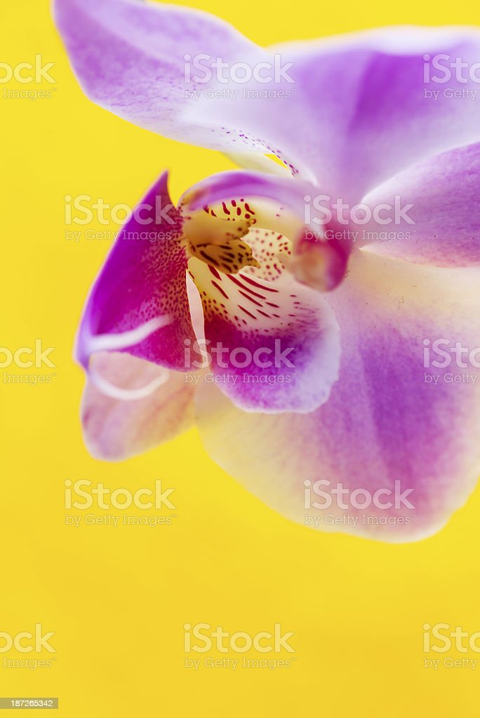 Macro of orchid flower on vivid yellow background royalty-free stock photo