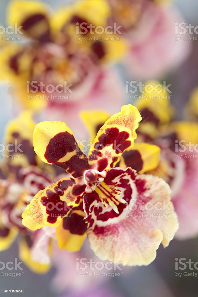 Macro of Orchid Flowers stock photo