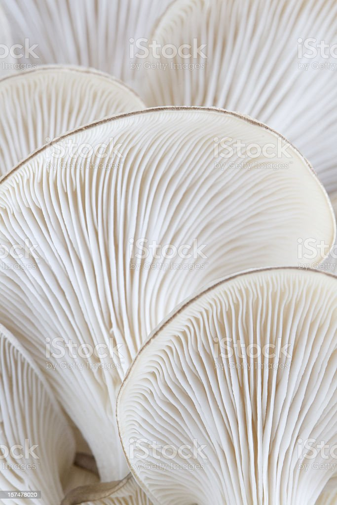 Macro of oyster mushroom gills (Pleurotus) stock photo