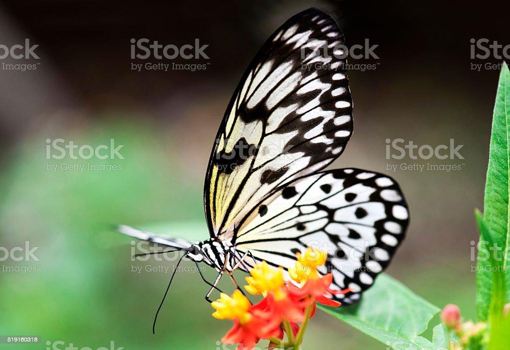 Macro of Paper Kite Butterfly Feeding on flowers stock photo