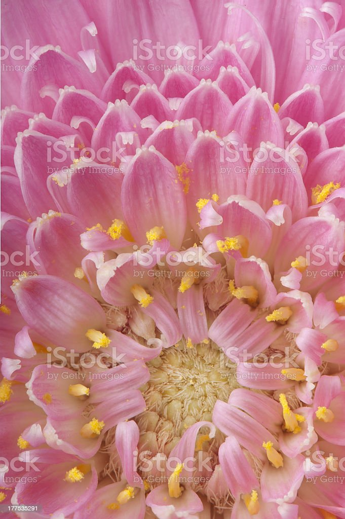 Macro of pink Gerbera royalty-free stock photo