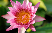 macro of pink lotus