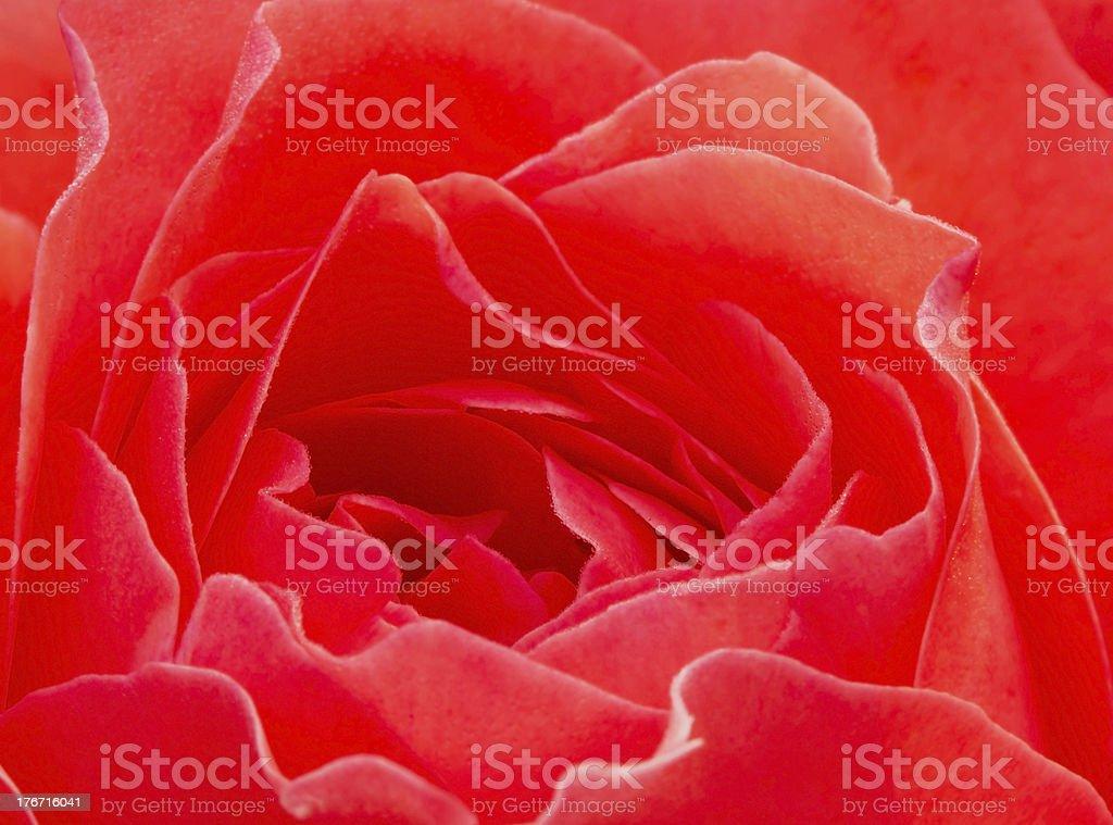 Macro of pink rose royalty-free stock photo