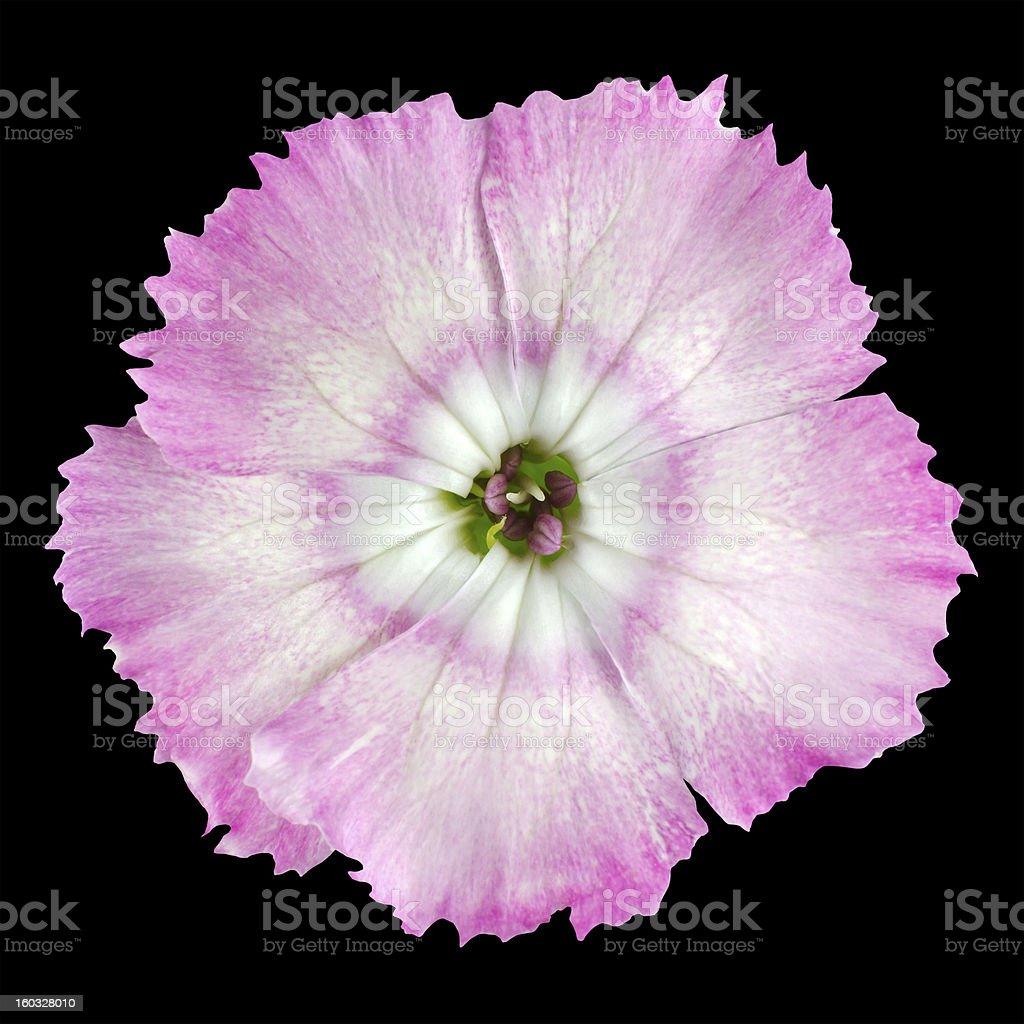 Macro of Pinks wild flower isolated on black royalty-free stock photo