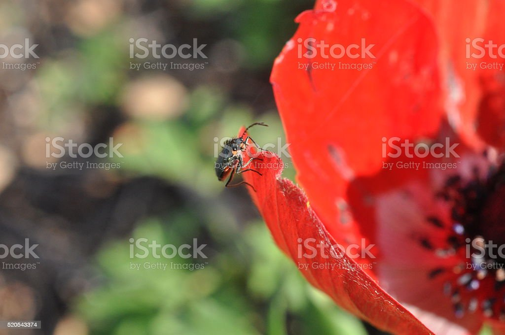 Macro of Poppy Anemone Flowers with Insects stock photo