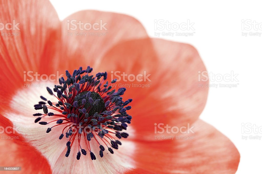 macro of poppy isolated on white royalty-free stock photo