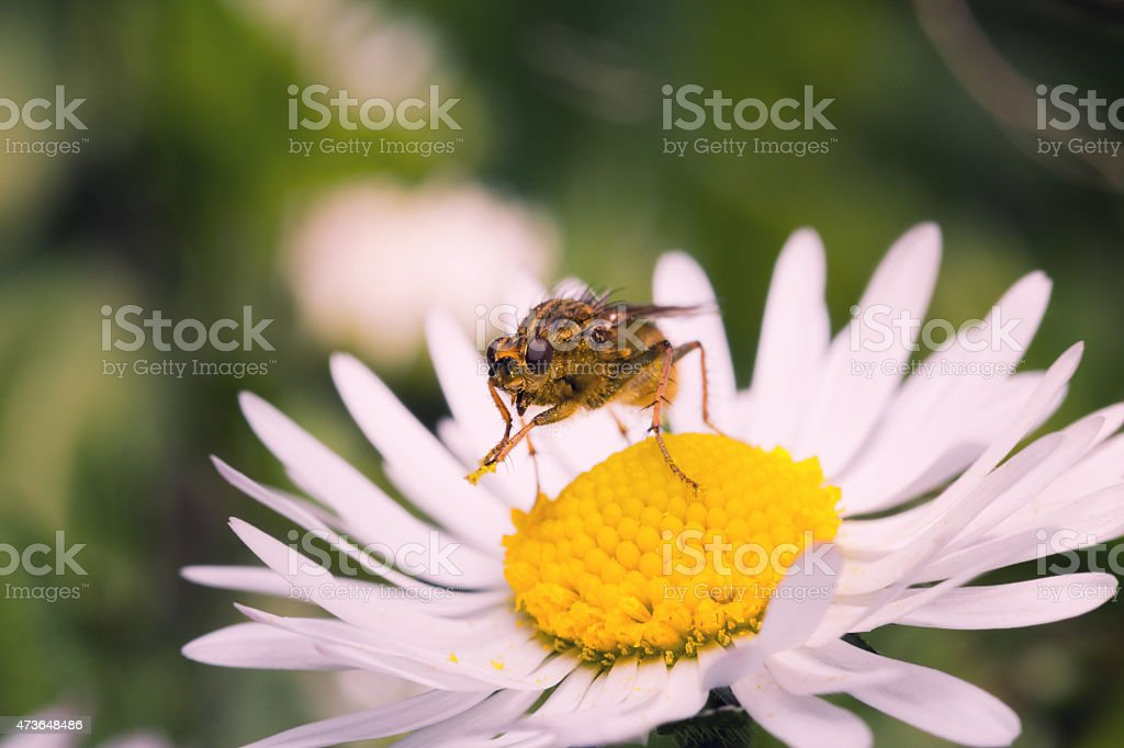 Macro of profile common yellow dung fly stock photo