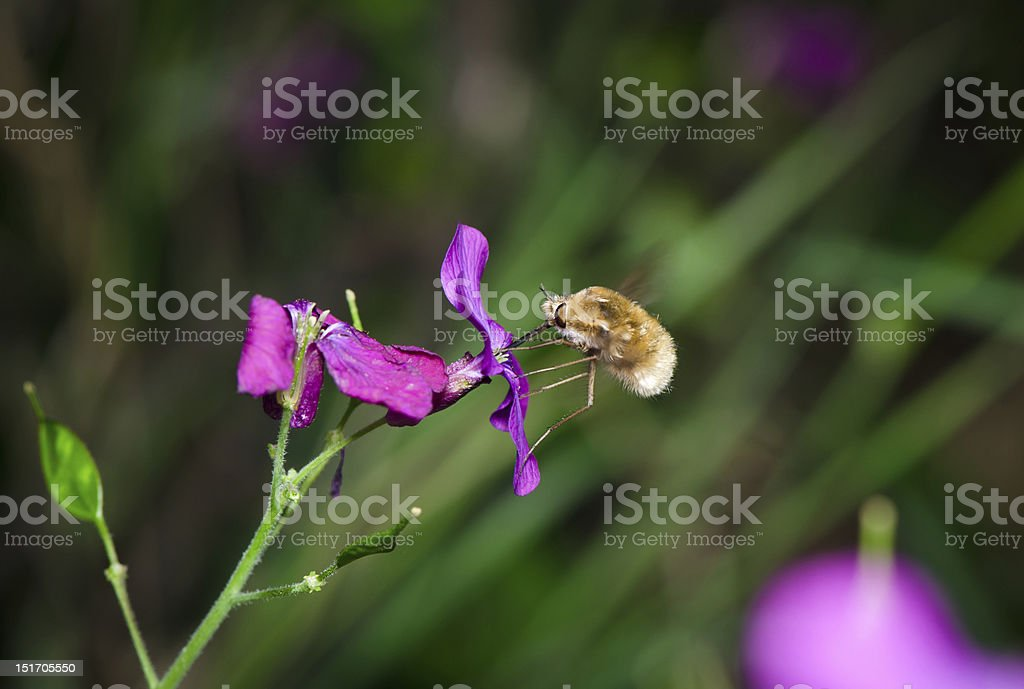 Macro of profile large bee fly stock photo