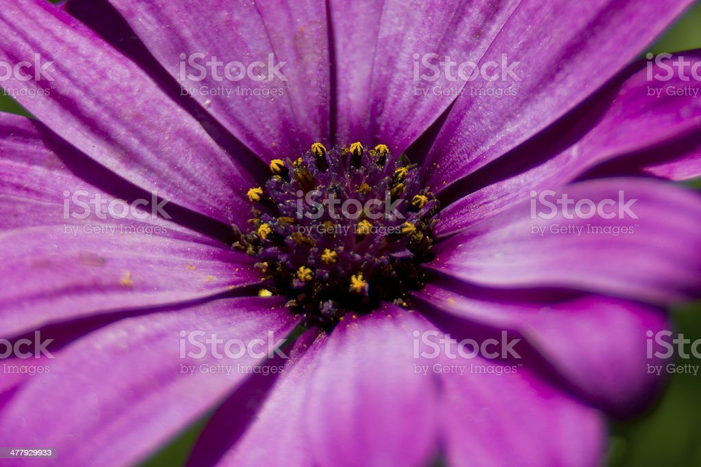 Macro of Purple Flower royalty-free stock photo