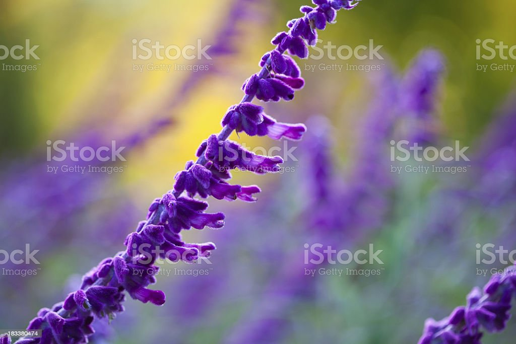 Macro of Purple Sage at Sunset or Sunrise stock photo