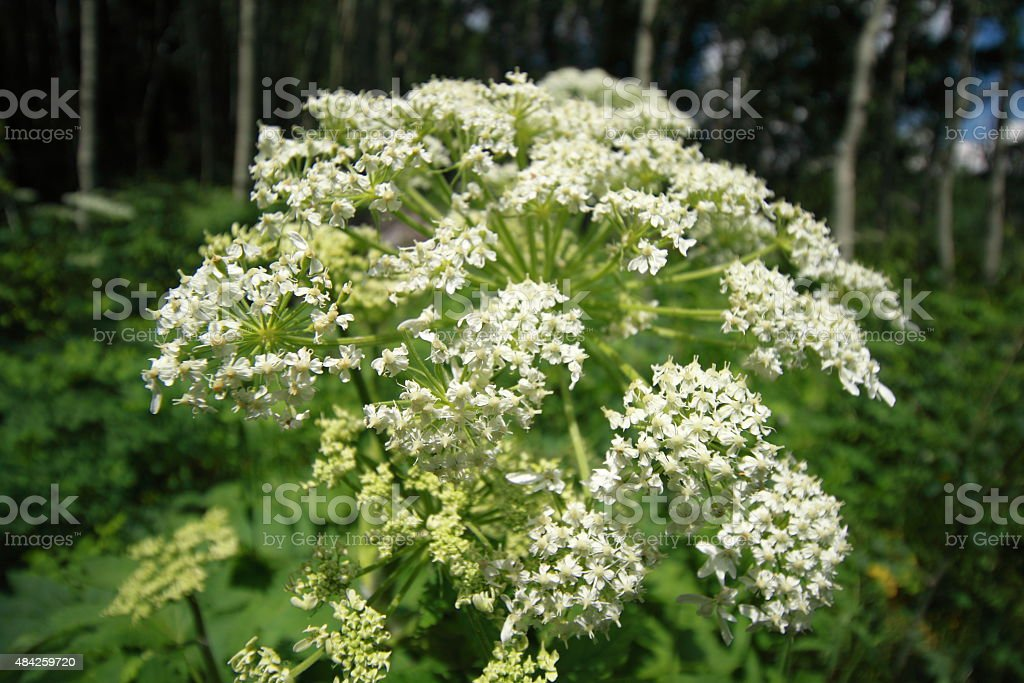 Macro of Queen Anne's Lace stock photo