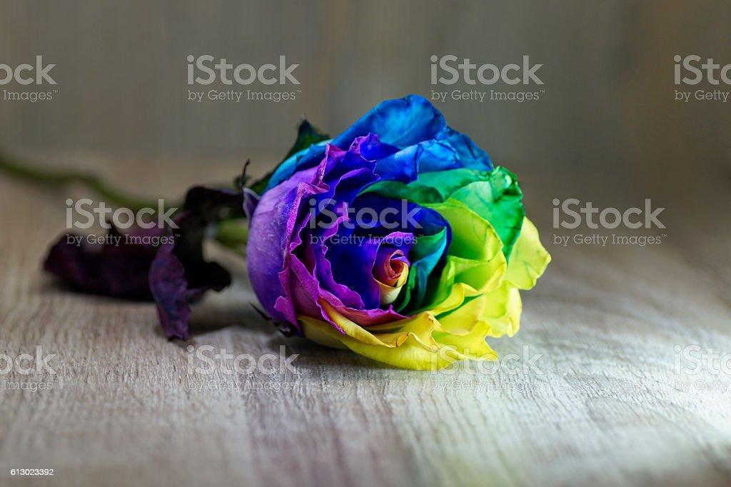 Macro of Rainbow Rose, romantic wedding, spectral color stock photo