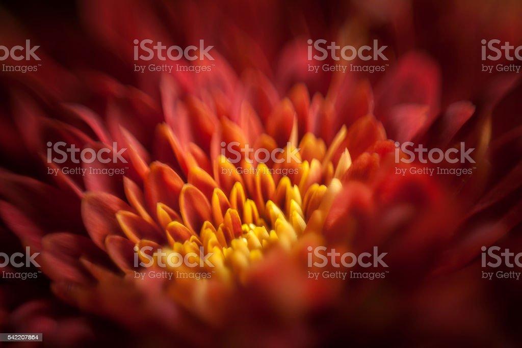 Macro of Red Mum Flower stock photo