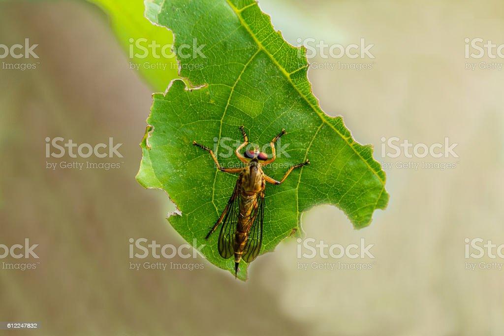 Macro of roberfly on green leaf stock photo