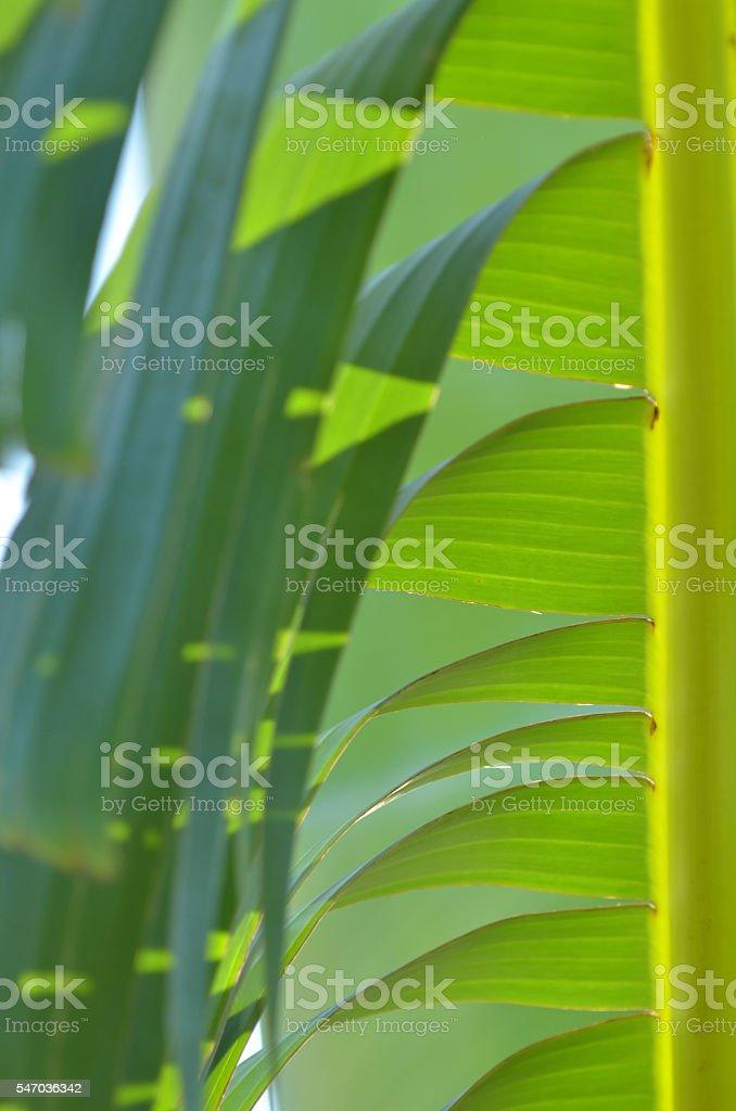 Macro of splitting babana leaf segments floding over and hanging stock photo